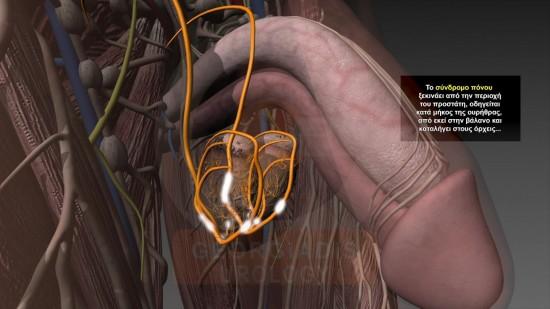 testicular nerves