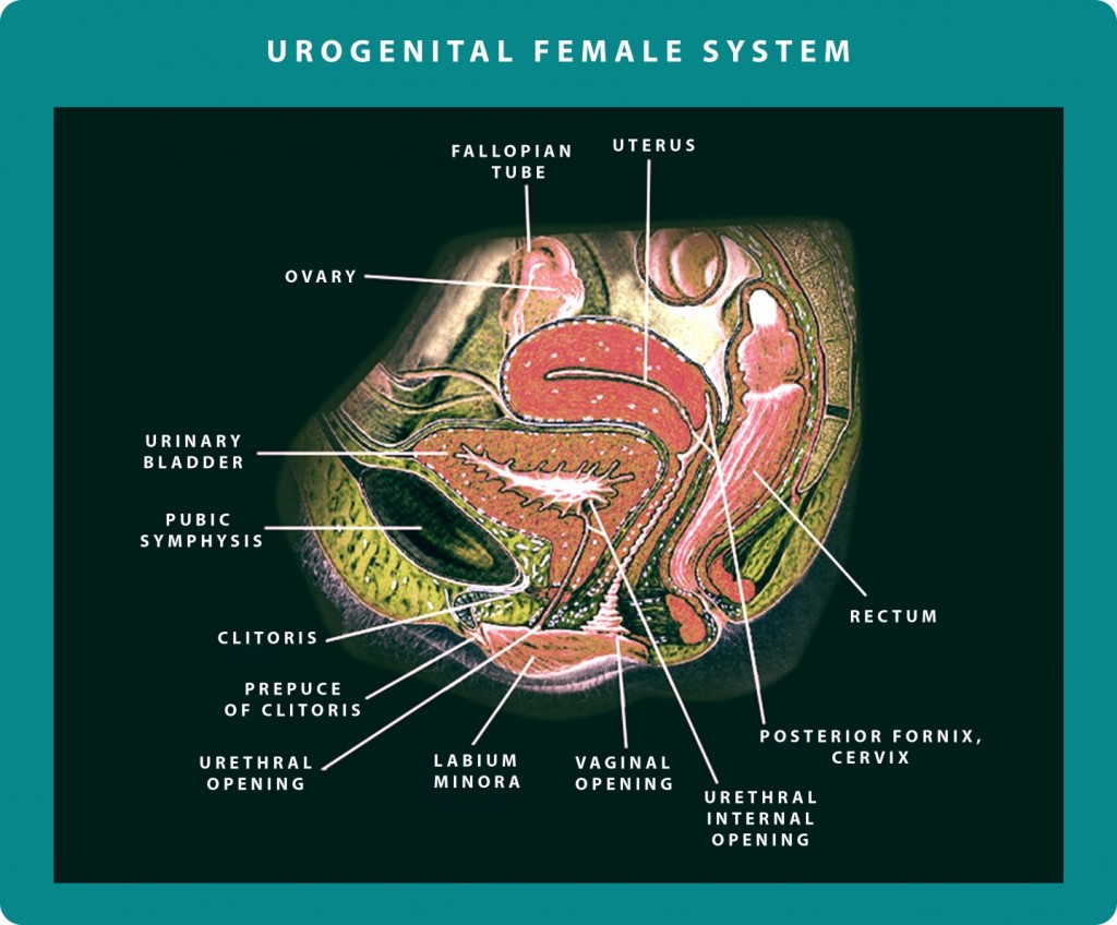 Female Urogenital System | Georgiadis Urology